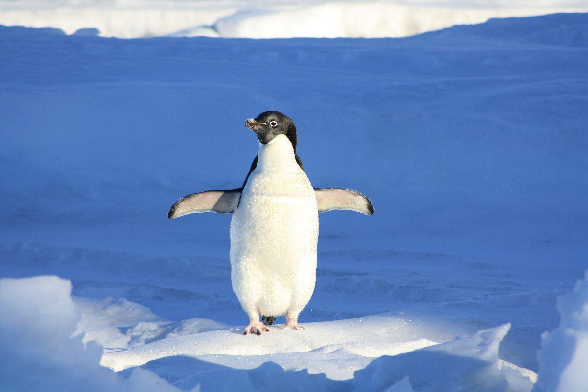 Penguin / Pinguin